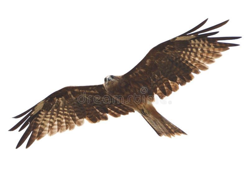 Black kite stock image