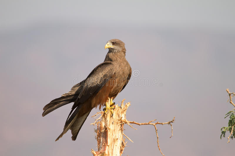 Download Black kite stock photo. Image of hunter, lower, africa - 18389660