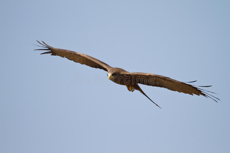 Download Black kite stock image. Image of hungry, hunting, brown - 18390087