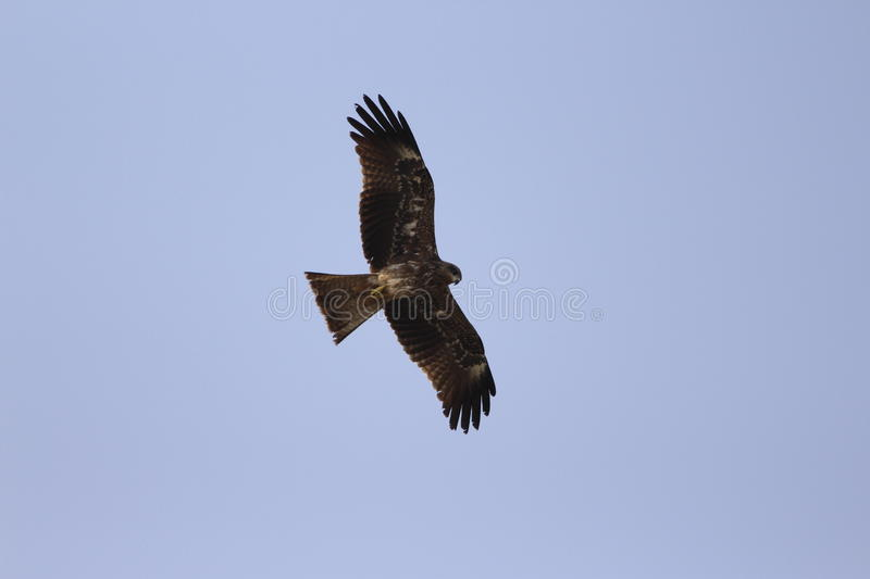 A black kite royalty free stock image