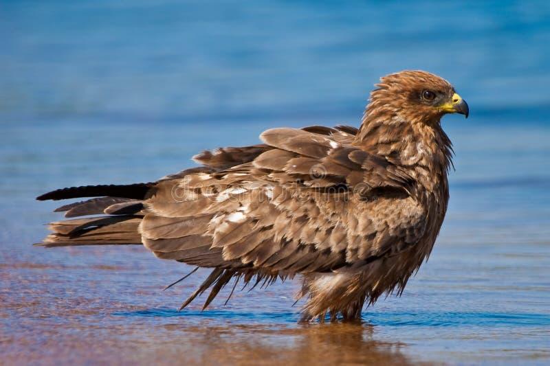 Download Black Kite Bird Bading In The Water Stock Image - Image of bird, meat: 10289241