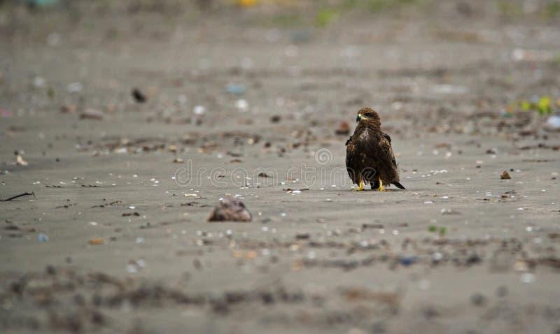 Black Kite Bird stock photos