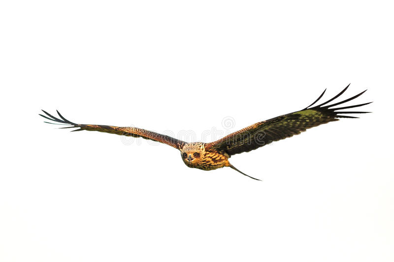 Black Kite Bird in flight royalty free stock photos
