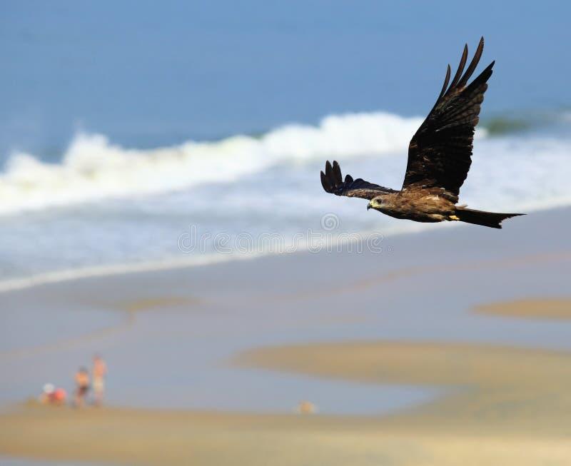 Download Black Kite in flight stock image. Image of flight, bird - 14198509