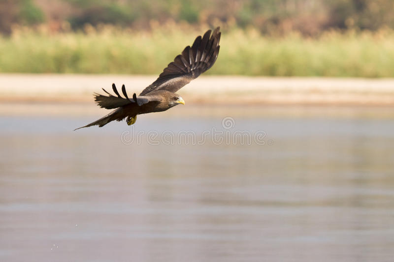 Black Kite In Flight Royalty Free Stock Image