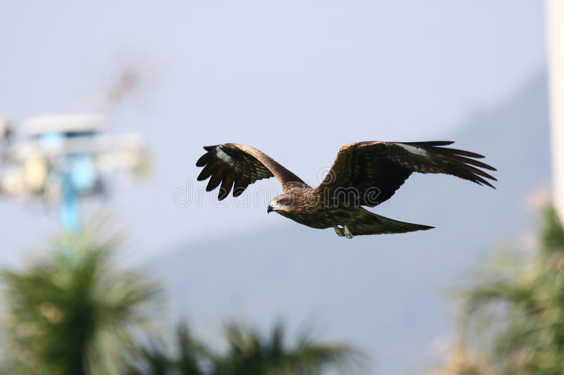 Black Kite FLying Low in Park royalty free stock photo
