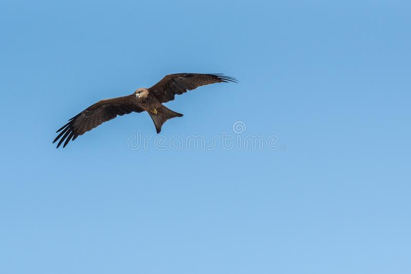 Black Kite Flying in sunny day. Black Kite flying at sunny day to find prey stock images