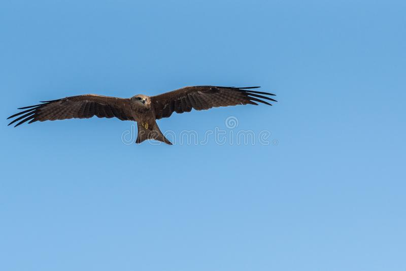 Black Kite Flying in sunny day. Black Kite flying at sunny day to find prey stock photos
