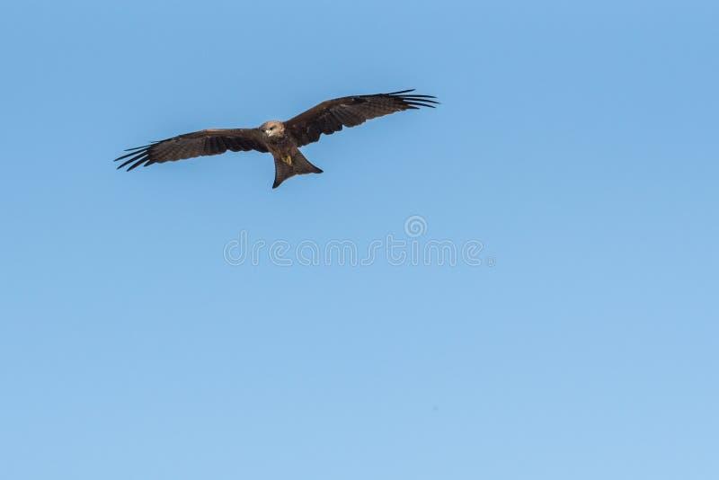 Black Kite Flying in sunny day. Black Kite flying at sunny day to find prey stock image