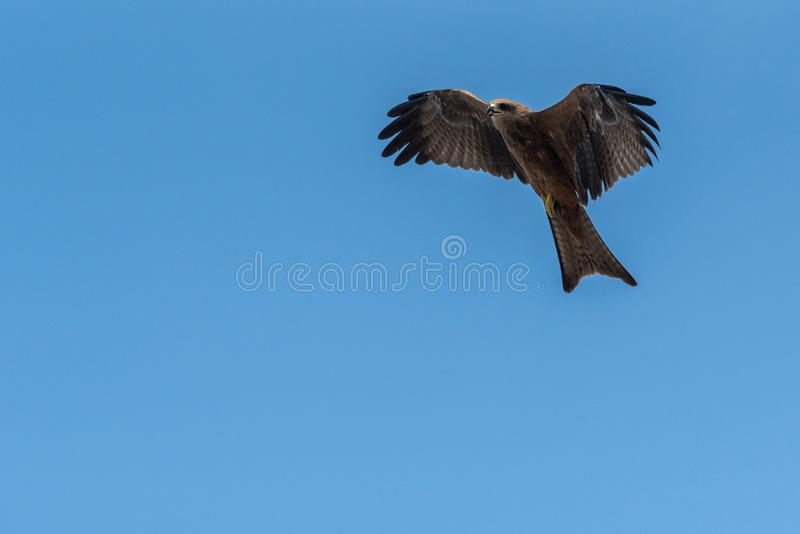 Black Kite Flying in sunny day. Black Kite flying at sunny day to find prey royalty free stock photography
