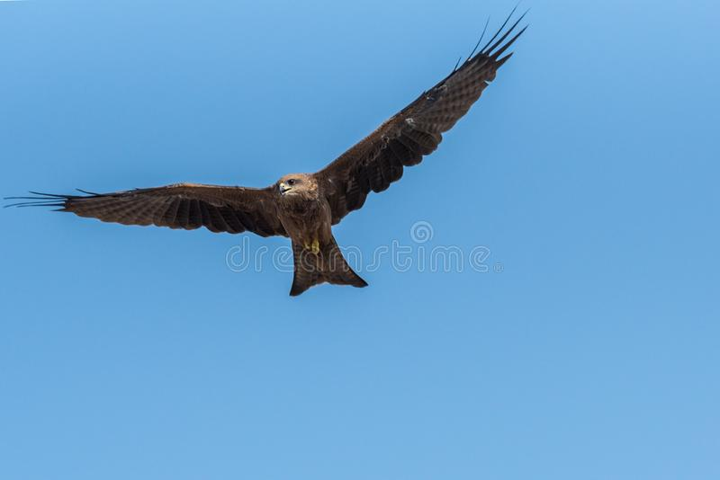 Black Kite Flying in sunny day. Black Kite flying at sunny day to find prey stock photography