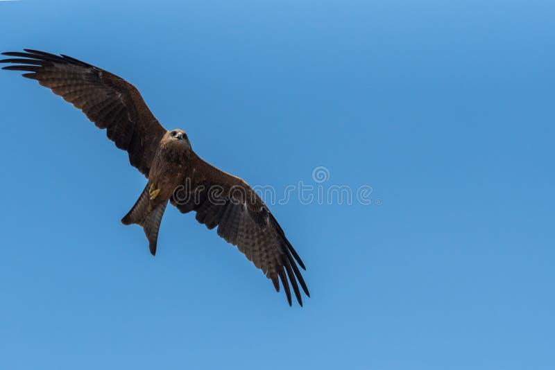 Black Kite Flying in sunny day. Black Kite flying at sunny day to find prey stock photo