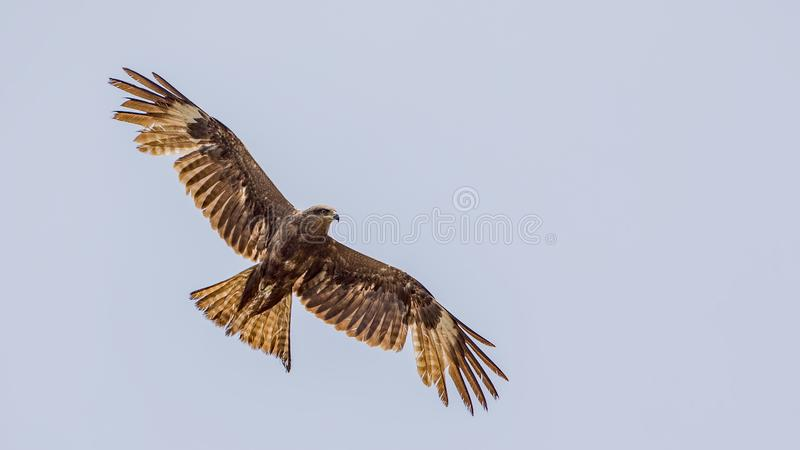 Black Kite Hovering. Black Kite, Milvus migrans, is hovering on clear blue sky with wings wide open royalty free stock images