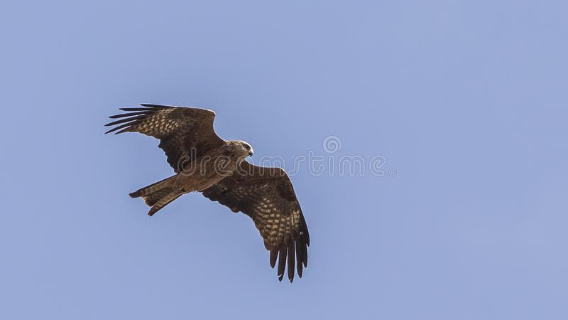 Black Kite Hovering on Clear Blue Sky. Black Kite, Milvus migrans, is hovering on clear blue sky with wings wide open in Ethiopia, Africa royalty free stock images