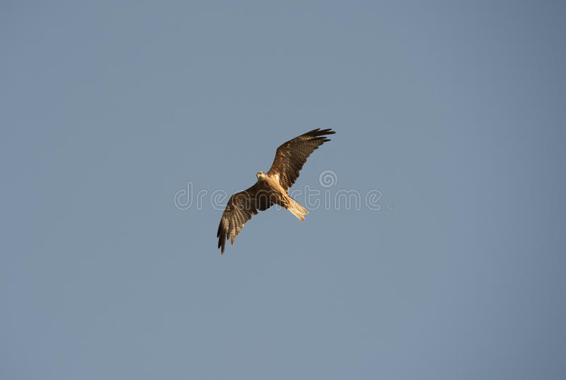Download Black Kite Hovering In The Sky Stock Photo - Image: 21618484