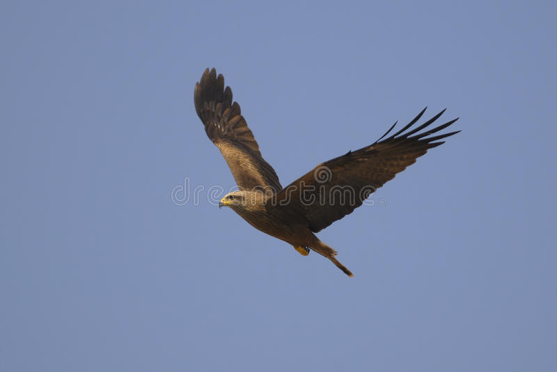 Black Kite (Milvus migrans) royalty free stock images