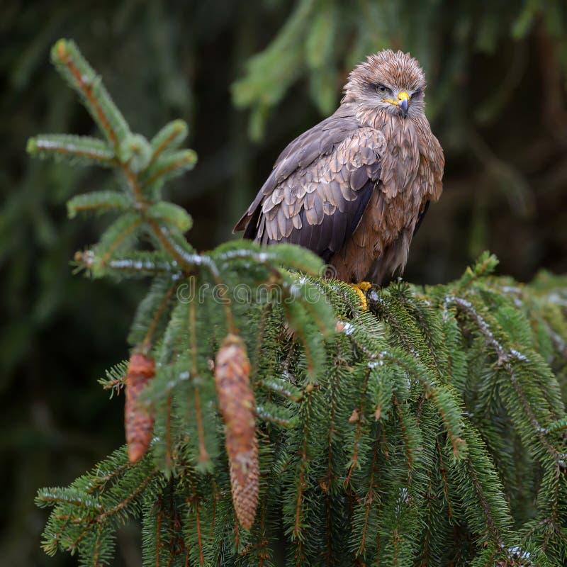 Black Kite - Milvus migrans royalty free stock photography