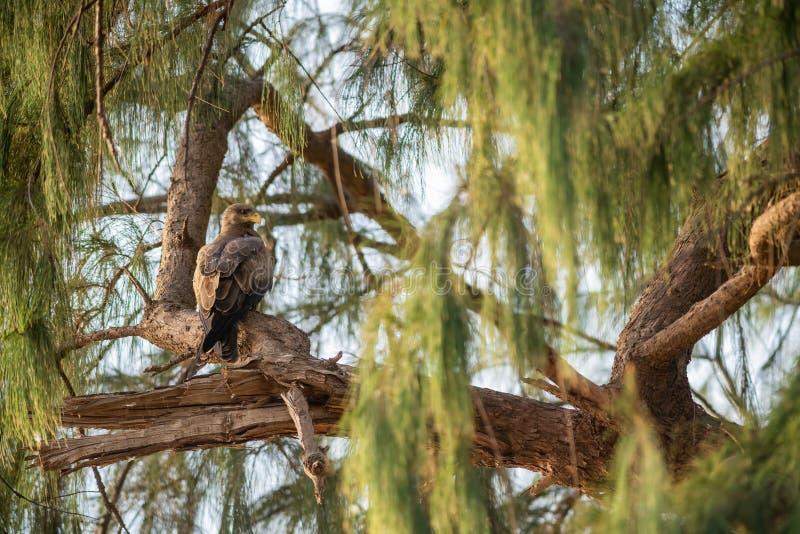 Black Kite - Milvus migrans stock images