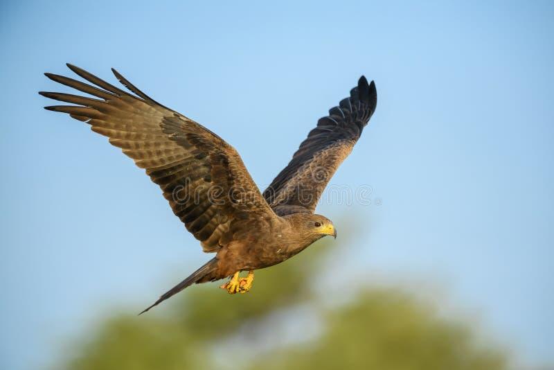 Black Kite - Milvus migrans royalty free stock photo