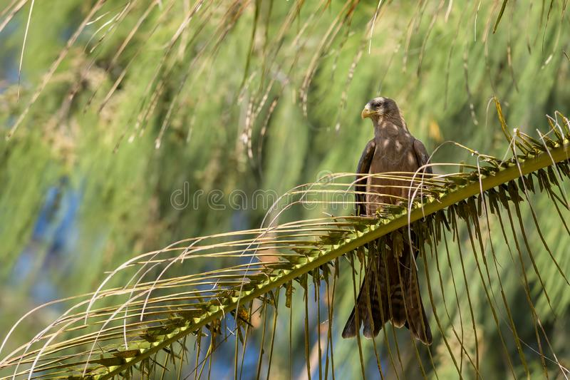 Black Kite - Milvus migrans stock photo