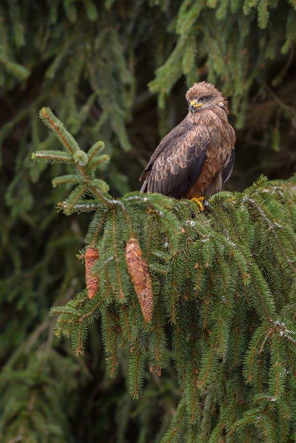 Black Kite - Milvus migrans royalty free stock image