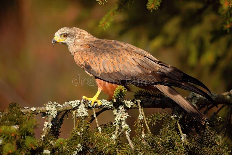 Black Kite, Milvus migrans, brown bird of prey sitting larch tree branch, animal in the habitat stock photo