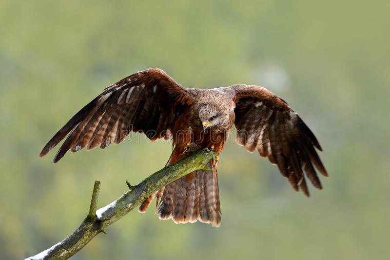 Black Kite, Milvus migrans, brown bird sitting larch tree branch with open wing. Animal in the nature habitat. Black Kite in the f. Black Kite, Milvus migrans royalty free stock image