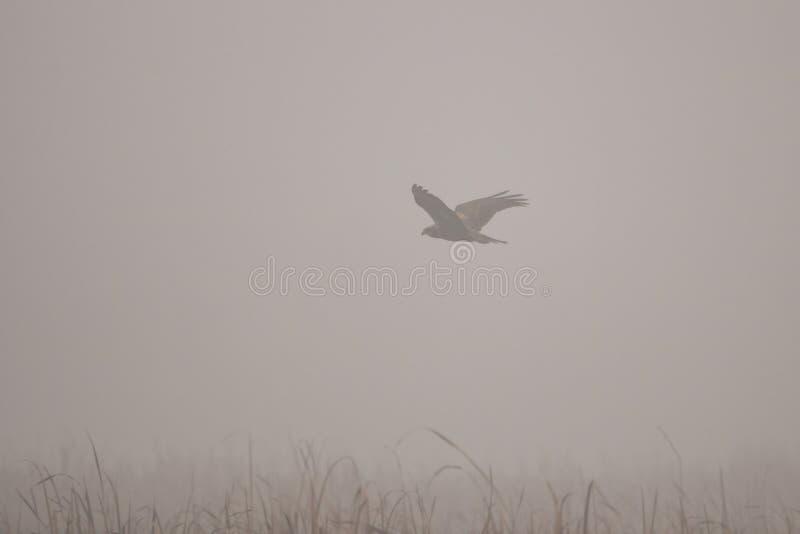Black kite milvus migrans in stock images