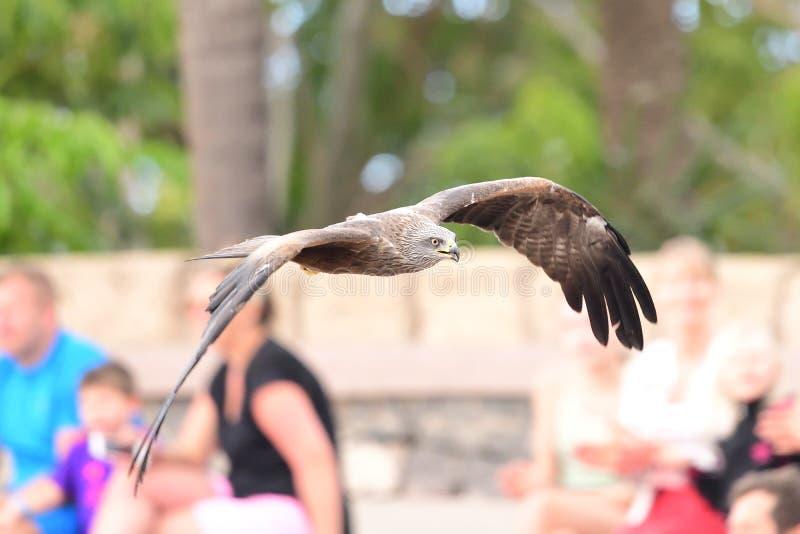 Black kite milvus migrans royalty free stock photos