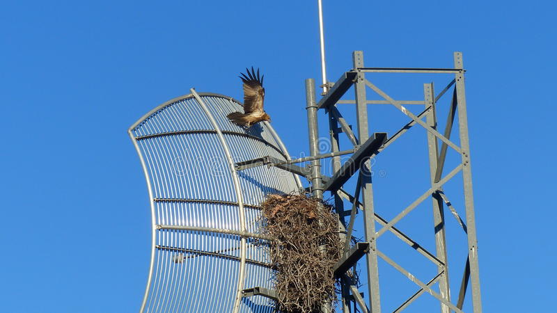 Black Kite nesting in a radio transmitter royalty free stock photo