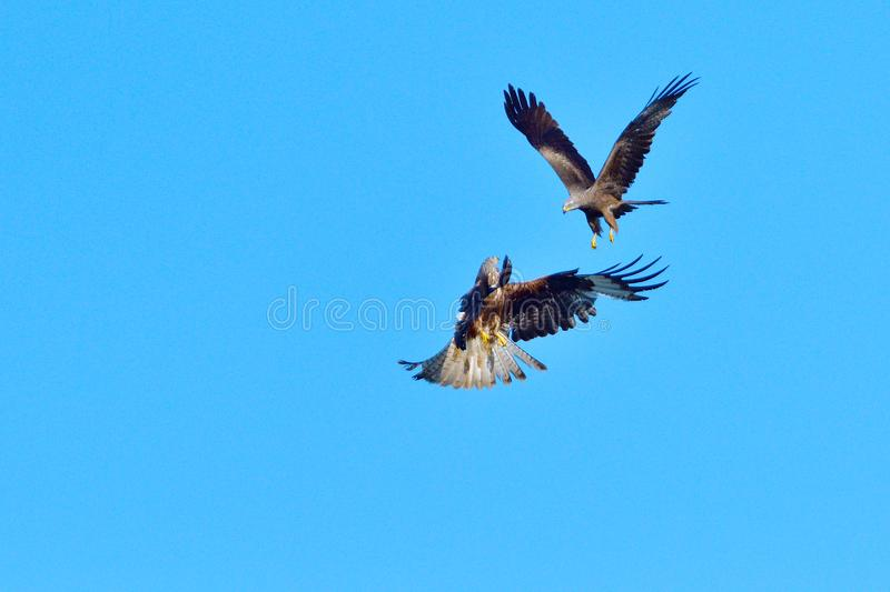 Black kite and red kite in air combat. Defense of the area royalty free stock images