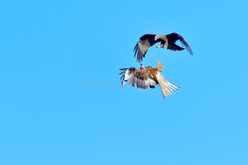 Black kite and red kite in air combat. Defense of the area royalty free stock photo