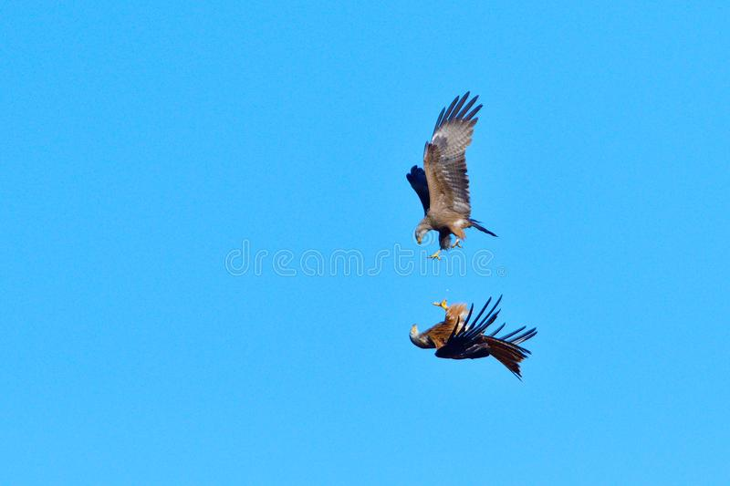 Black kite and red kite in air combat. Defense of the area stock images