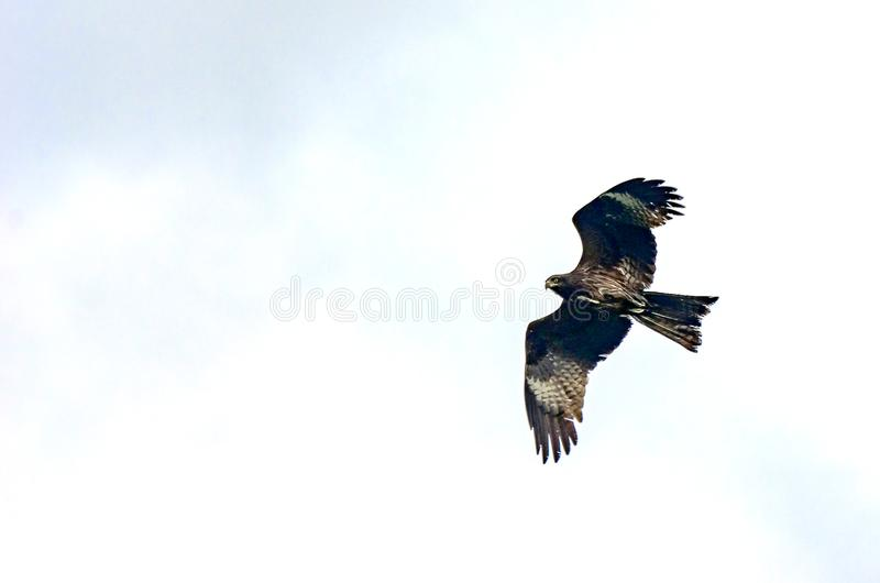 Black kite, spread wings flying in the blue cloudy sky looking for a prey stock photography