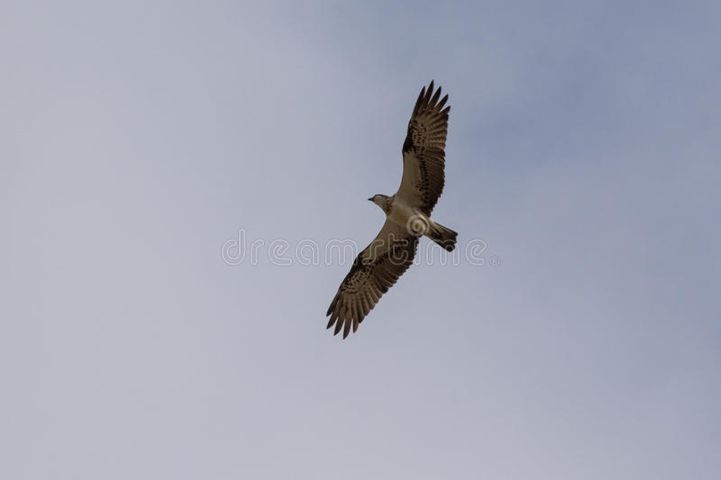 Black Kite in Yeppoon. Queensland, Australia royalty free stock image