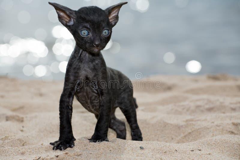 Black Devon Rex Cat Stretching