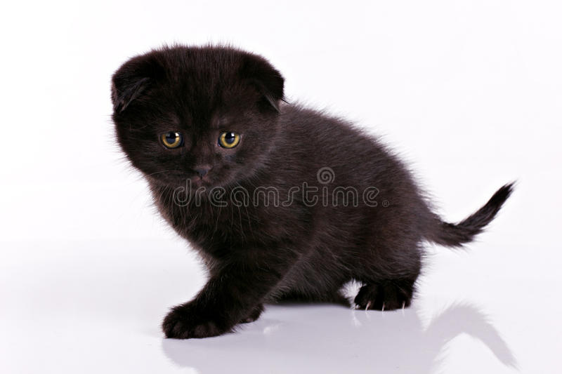 Download Black kitten stock photo. Image of curious, purr, charming - 24340062