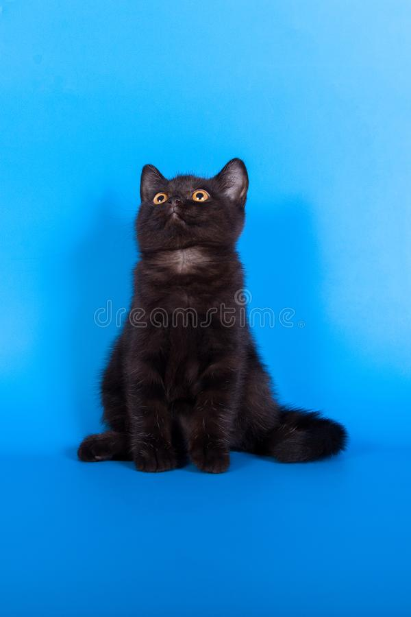 Black kitten on a blue background royalty free stock photography
