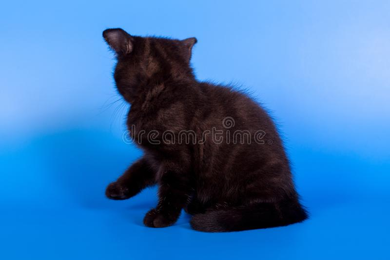 Black kitten on a blue background stock images