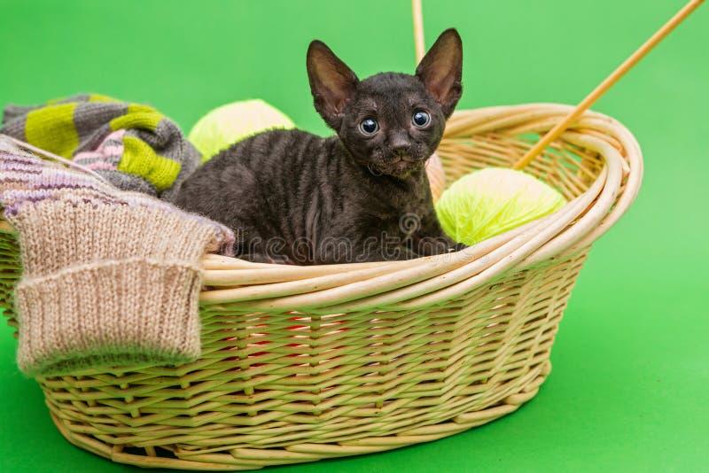Black kitten Cornish Rex in the basket of knitting, on a green b stock image