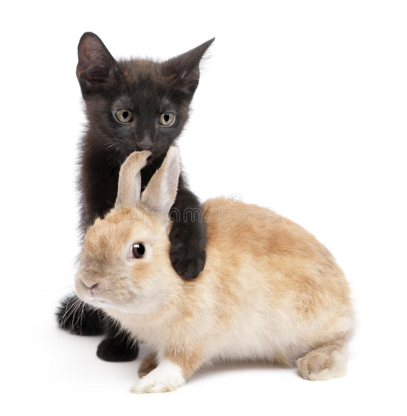 Black kitten with paw around rabbit royalty free stock photo