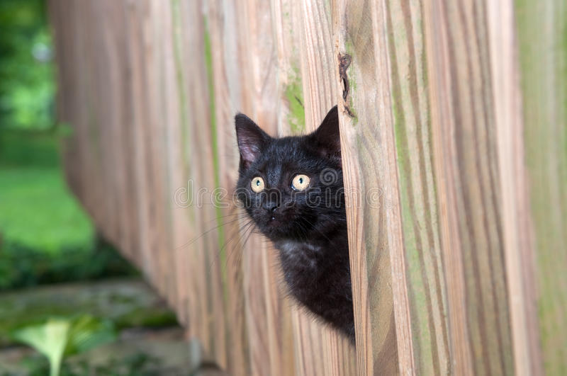 Black kitten peeking through wooden fence stock image