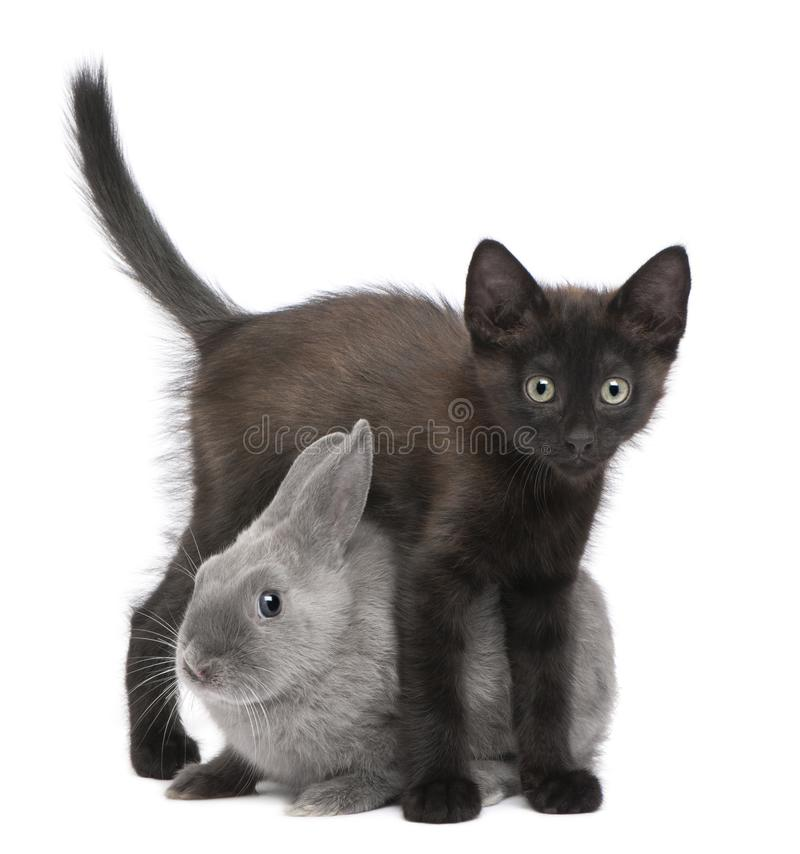 Black kitten playing with rabbit in front of white background royalty free stock images