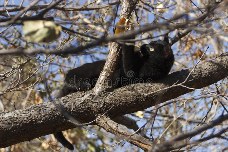The black kitten in the struggle with the leaf stuck out his tongue from zeal stock photos
