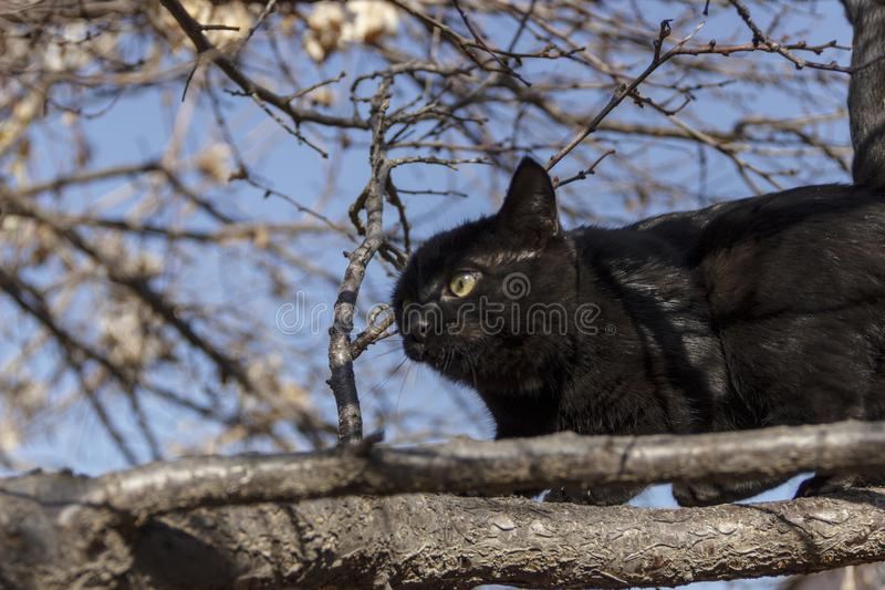 A black kitten on a tree learns to hunt. Portrait of a black kitten with a white mark on the chest royalty free stock images