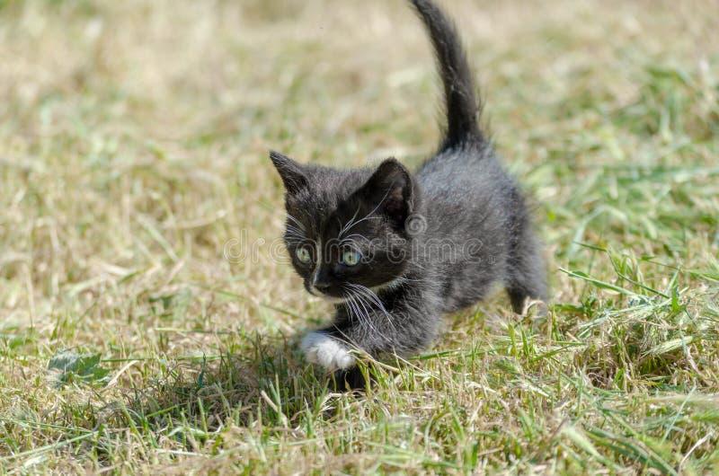Black kitten walking in green grass royalty free stock images