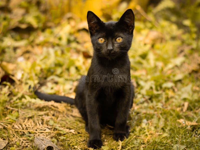 Black kitten with yellow eyes on autumn leaves. Cute black kitten with yellow eyes on autumn leaves, autumn scene, yellow leaves stock images