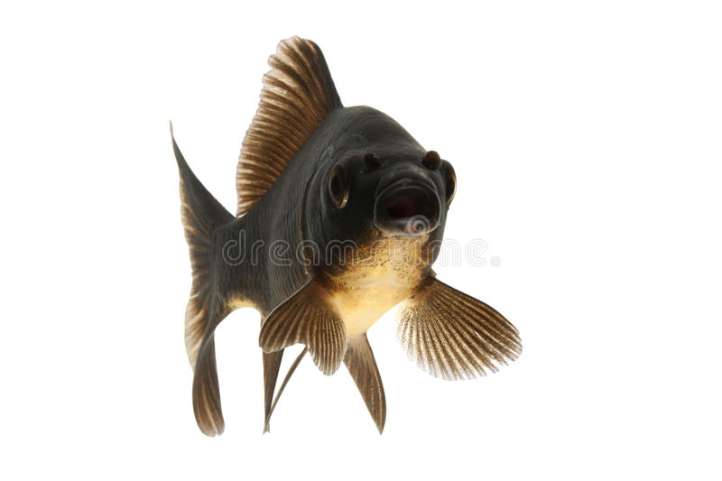 Download Black Koi Fish stock image. Image of underwater, space - 28982603
