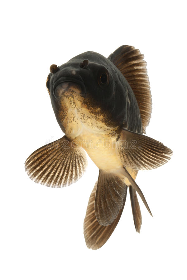 Download Black Koi Fish stock image. Image of white, domestic - 28982605