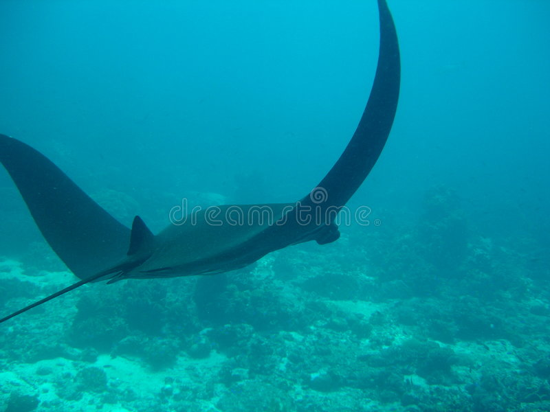 Download Black komodo manta unique arkivfoto. Bild av tropiskt, fisk - 511330